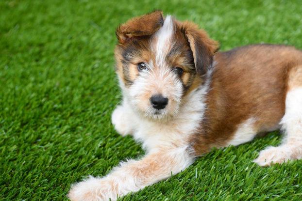puppy on artificial grass