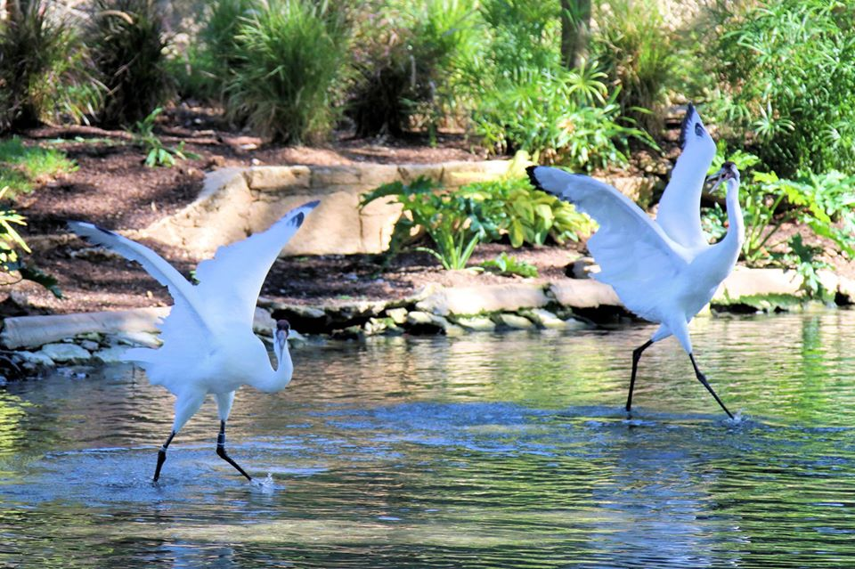 Whooping Cranes 3