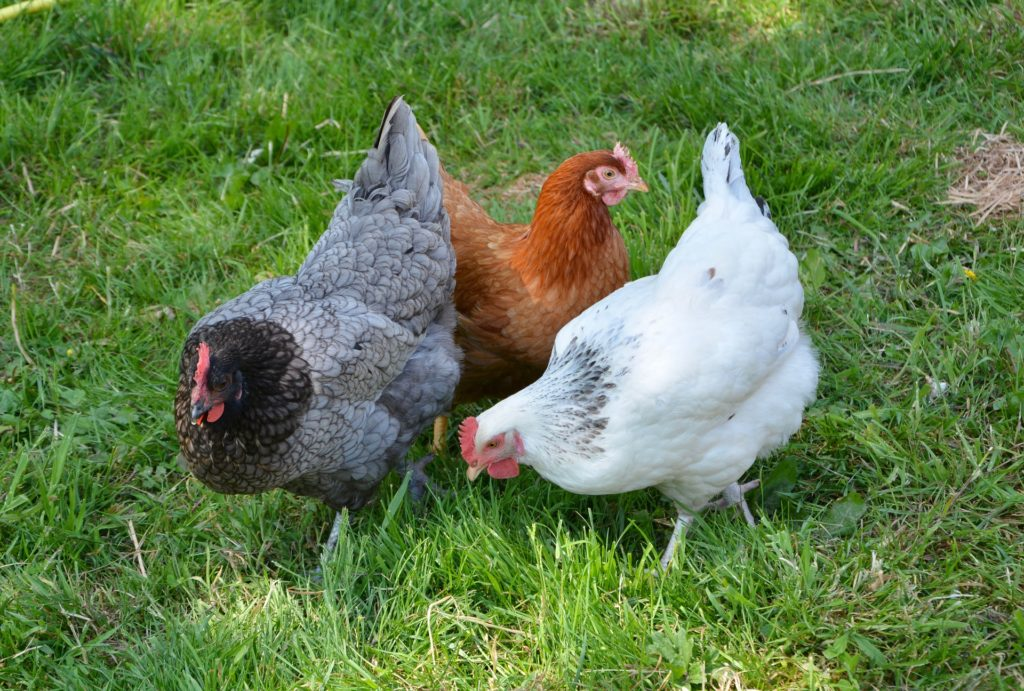 Image of hens in grass